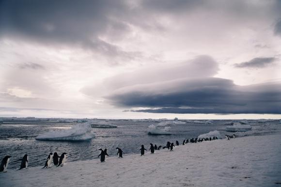 Paulet Island_Penguins