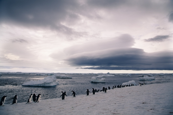 Paulet Island_Penguins